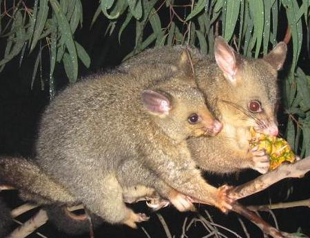 brushtail_possum2.jpg