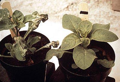 ozone-plant-damage