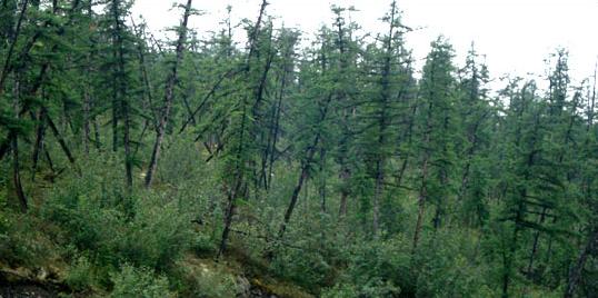 drunken forest