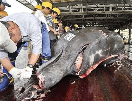 fishermen-slaughter-a-10m-long-bottlenose-whale-at-the-wada-port-in-minami-boso-city-chiba-prefecture-east-of-tokyo-afp