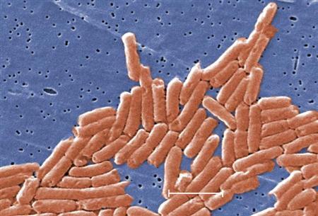 salmonella-bacteria-cdc