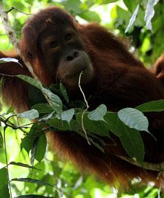 the Sumatran orang-utan.