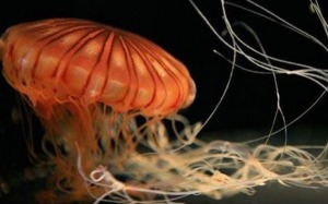 jellyfish getty images
