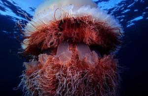 Nomura-jellyfish-1 scrape tv
