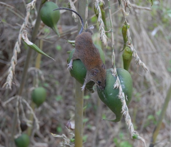 Mouse eating fruit of a Bamboo plant. (feww, 2010)