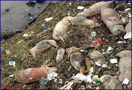 Shanghai river - dead pigs
