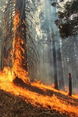 RIM FIRE-Flames Sweep Up Red Pine Tree usfs