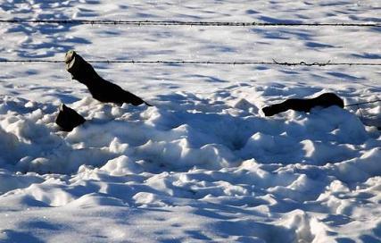 south-dakota cattle die-off -