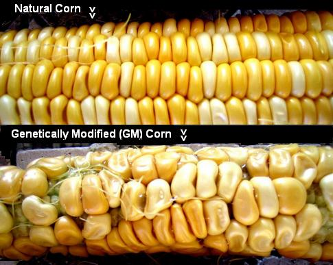 natural corn v GM Corn