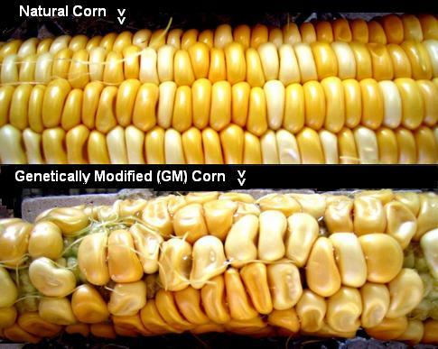 natural corn v GM Corn