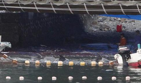 Fishermen hunt dolphins in the shallows of a cove in Taiji